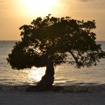 Dividivi (Fofoti) tree