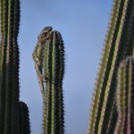 Iguana on top of a Cactus
